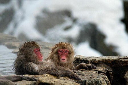 Japanese Macaque Fuscata Image 367