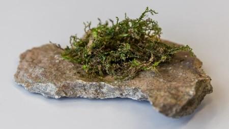 Este musgo tiene un compuesto parecido al de la marihuana pero con mejores efectos medicinales