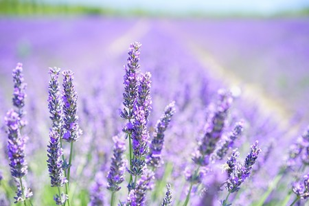 Lavender Blossom 1595581 960 720