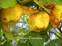 Membrillos, frutos de otoño