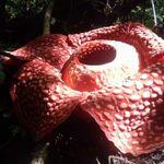 Sumatra ve nacer la flor más grande del mundo: tiene 111 centímetros de diámetro