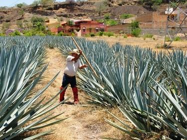 Festival Nacional del Tequila en la cuna del Tequila, ¡Ajúa!