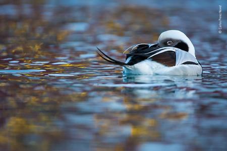 Carlos Perez Naval Wildlife Photographer Of The Year 01