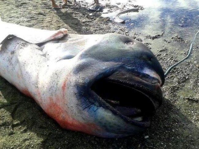 El raro tiburón de boca ancha que llegó a orillas de Filipinas