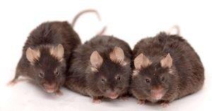 Demostrado, el resveratrol puede alargar la vida de los mamíferos