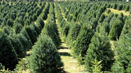 PROFEPA regresó más de 15 mil árboles de navidad importados de EUA porque tenían plagas de gorgojos, avispas y otros insectos