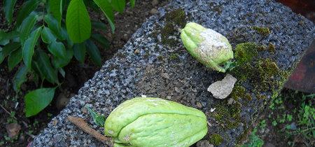 Chayotes, todo lo que debes saber sobre esta verdura mexicana