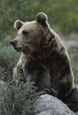 Recuperación progresiva del oso pardo en la cordillera catábrica