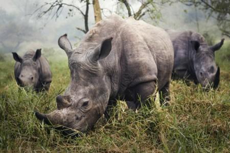 10 White Rhinos