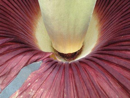 Con forma fálica y olor a muerto, quién puede pensar que hablamos de una flor
