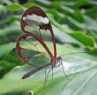 La mariposa de alas transparentes