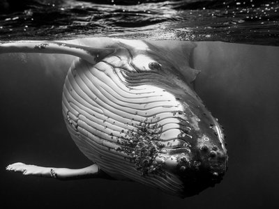 'Giants', los intimistas retratos de ballenas jorobadas en el Pacífico sur de Jem Cresswell