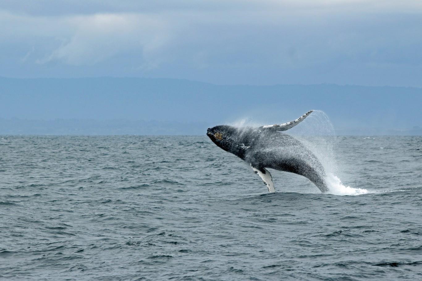 Más de mil ballenas han muerto en el Pacífico solo este año y nadie sabe por qué