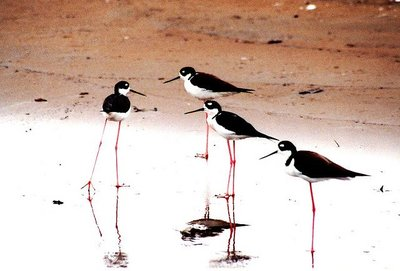 Como nosotros, las aves migratorias se hacen más comodonas con la edad