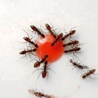 [Vídeo] Hormigas alimentándose de una gota de jarabe de granadina