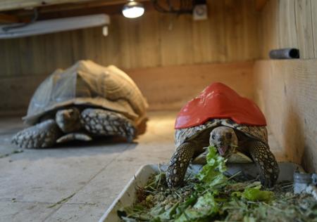 El caparazón dañado de esta tortuga ya no será problema gracias a la impresión 3D