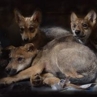 ¿Qué nombre le pondrías a un lobo? SEDEMA invita a nombrar a 8 cachorros de lobo gris mexicano nacidos en Ciudad de México