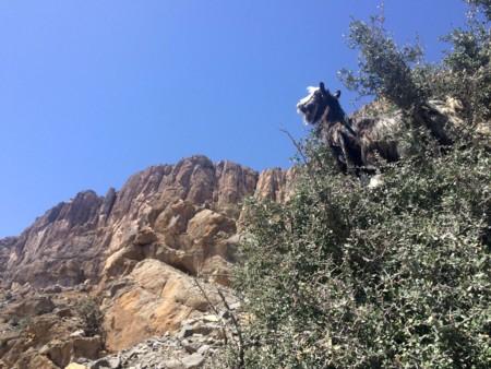 Cabras en Gran Cañón Omán