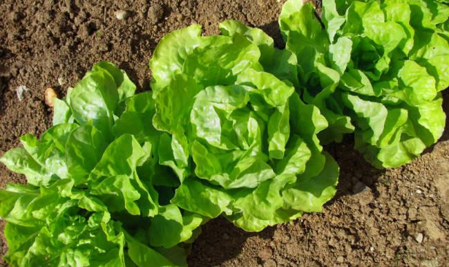 Cultivos vegetales
