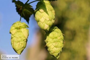El lúpulo (I): un ingrediente esencial para la elaboración de la cerveza