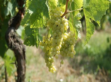 Las uvas blancas que se cultivan en España