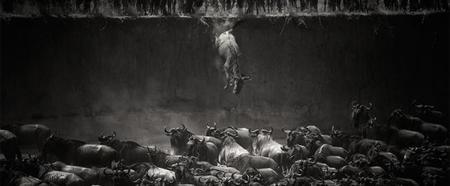 Wildebeest Mara River Jump 84426 990x410