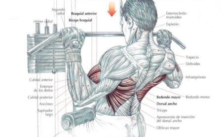 musculos-espalda