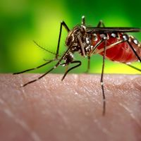 Estos mosquitos están modificados genéticamente para resistir los cuatro serotipos del virus dengue y evitar así su propagación