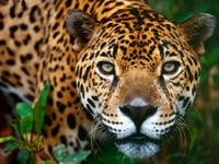 [Vídeo] Jaguar VS Caimán