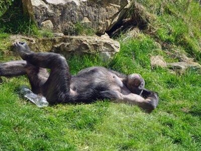 El parásito que vuelve aventureros y temerarios a los chimpancés