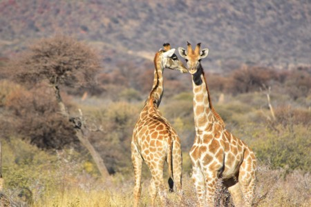 Giraffe 1401831 1920