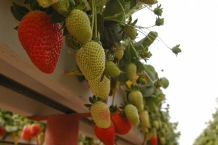 Baja California. Fresas, uvas, dátiles, y receta: fresas al cava