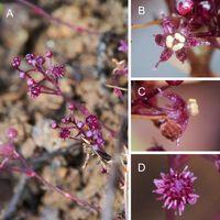 Este nueva planta que no realiza la fotosíntesis ha sido decubierta en Japón