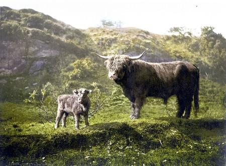 Dos Vacas Escocesas