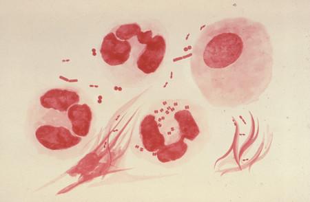gonorrea-bacteria