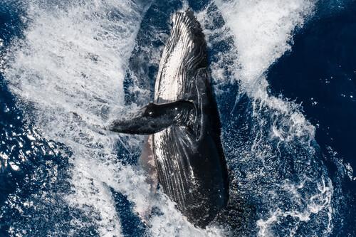El salto de una ballena jorobada es la mejor foto realizada con un dron según el concurso 'SkyPixel 6th Aerial Photo & Video Contest'