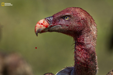 Bloody Vulture