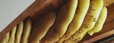 Una señora ha pasado un año viviendo con 60.000 abejas sin saberlo. En Australia, dónde si no