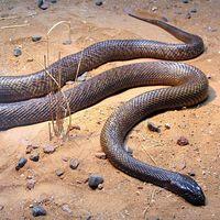 La serpiente más venenosa del mundo puede matar a 50 personas con un solo ataque