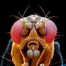 ¿La mosca con ojos humanos?