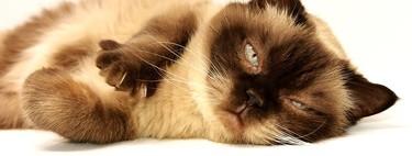 ¿Qué intentan decirnos los gatos cuando nos maúllan?