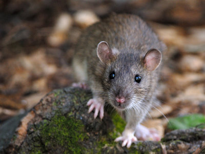 """París quiere acabar con su plaga de ratas, y miles de parisinos se oponen al considerarlo un """"genocidio"""""""