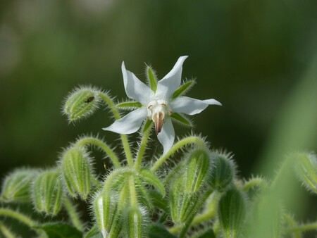 Borago Officinalis 1313503 1920