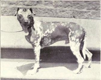Mexican Hairless From 1915
