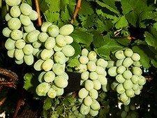 Una nueva uva sin semilla, la Autumn King