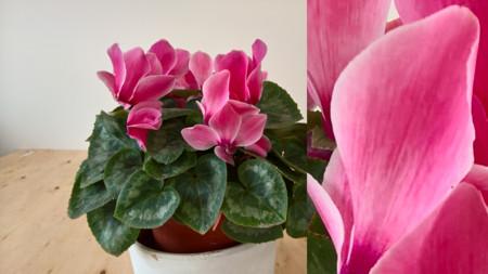 Lumia 950 Flor