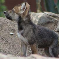 Estos son los nombres que tendrán las ocho crías de lobo gris nacidas en Ciudad de México