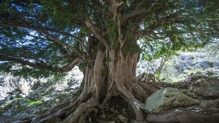 Andalucía alberga unos de los árboles más antiguos de Europa