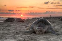 Las tortugas desovan en la Playa de San Lorenzo, en Ecuador
