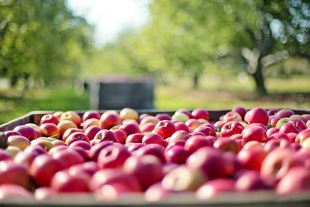 Apples 1004886 1920